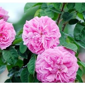 Trandafirii de dulceata – afacerea secreta a agricultorilor de succes