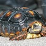 Ţestoasă găsită după 30 de ani!
