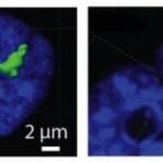 Cromozomii se reconfigurează odată cu terminarea diviziunii celulare
