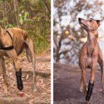 Primul câine din Australia care a primit o proteză pentru picior imprimată în 3D
