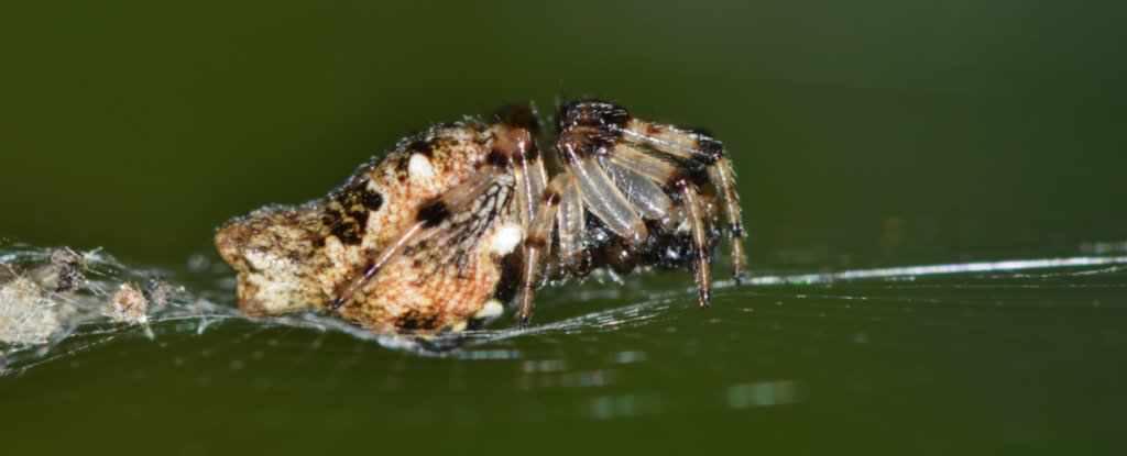 Cel mai rapid ceas biologic este deținut de un păianjen