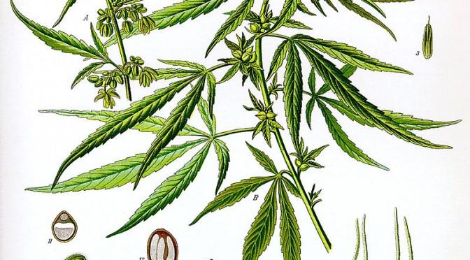 Unii fură cânepă crezând că este marijuana