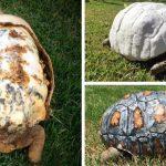 O țestoasa vătămată a primit o carapace imprimată 3D după ce și-a pierdut-o pe cea originală în incendiul Amazon