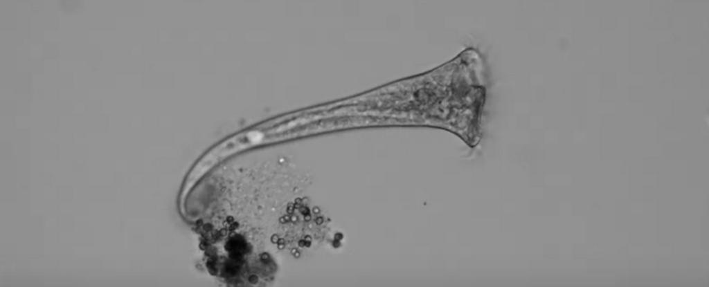 """Acest animal unicelular ia """"decizii"""" complexe chiar și fără un sistem nervos"""